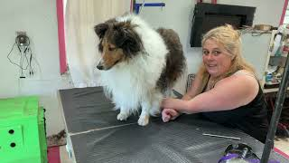 Grooming a matted Sheltie