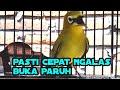 Pancingan Pleci Agar Ngalas Buka Paruh Dan Nembak  Mp3 - Mp4 Download