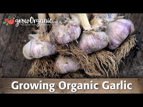 Growing Organic Garlic