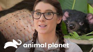 Demonio de Tasmania necesita una prueba alérgica   Los Irwin   Animal Planet