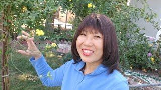 Vườn mai ở Mỹ, lải lá mai chuẩn bị đón tết