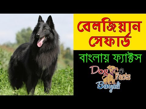 Belgian Shepherd Dog facts in Bengali | Most popular dog breeds | Know about  Dog Breed