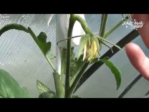 Как ускорить созревание помидор. Сайт 'Садовыймир'