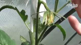 видео Как зеленые помидоры сделать красными/Чтобы снятые помидоры быстрее краснели