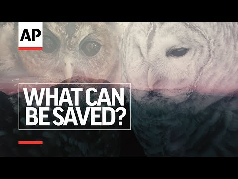 Episode 5 - Owl vs. Owl | What Can Be Saved? | AP