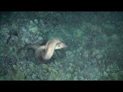 Moray Eels Fighting