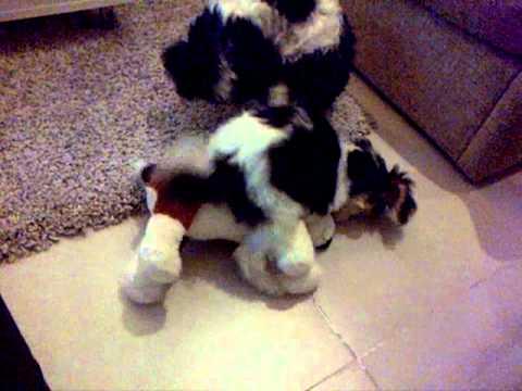 Female Dog Puppy Humping