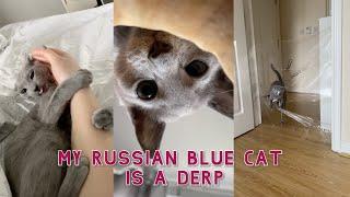 My Russian Blue Cat is a Derp