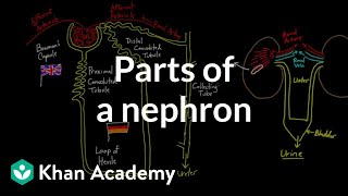 Parts of a nephron | Circulatory system physiology | NCLEX-RN | Khan Academy