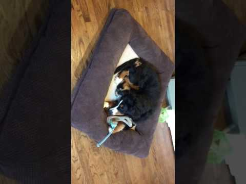 Bernese Mountain Dog puppy loves chewing her nylabones