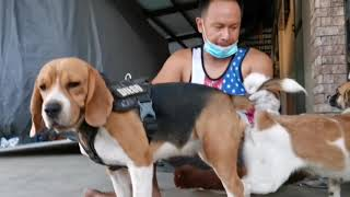 DIEGO THE BEAGLE & LABANG THE SHIH TZU crossbreed. I only do my job! This is owner's choice to bred.