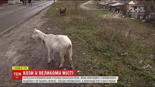 У районі Києва кози стали причиною конфлікту жителів багатоповерхівки та приватного сектору