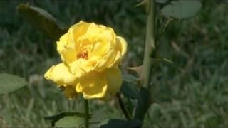 Summer Gardening - Rose Care Tips