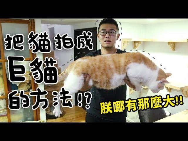 黃阿瑪的後宮生活-把貓拍成巨貓的方法