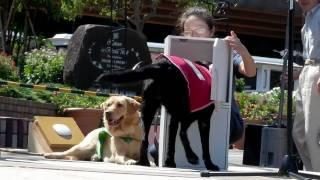 (hd) Labrador Retriever / ラブラドール・レトリバー 20100918 Goro@welsh Corgi