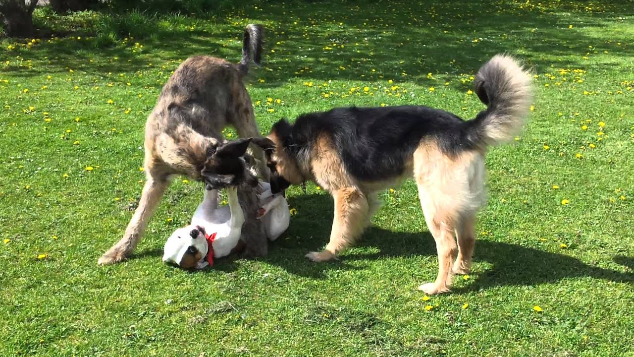 Bullboxer vs Irish Wolfhound vs German Sheperd - YouTube