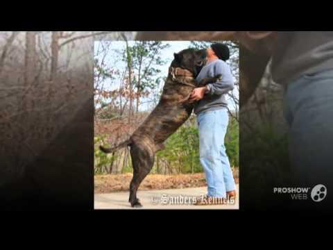 Presa Canario Dog Breed