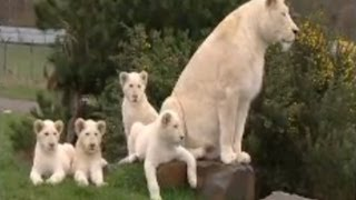 "White Lion Cubs birth part 1 - actual birth *** For Part 2 see    http://www.youtube.com/watchv=pogrcbuybRY&feature=channel   ***  The birth and first weeks of life of the first group of white lions in the UK.  CCTV Birth scene from 5'38""  At the West Midland Safari Park, near Bewdley, West Midlands, UK. www.wmsp.co.uk"