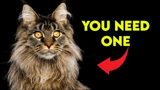 These Are The BEST REASONS To Get a Maine Coon Cat!
