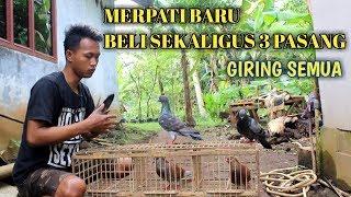 BELI 3 PASANG SEKALIGUS MERPATI BARU GIRING SEMUA