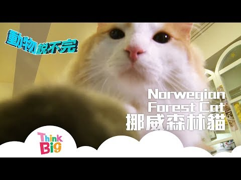 Think Big - 挪威森林貓 Norwegian Forest Cat