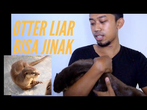 berikut tutorial cara memberi makan otter dari saya selama pengalaman saya salam 3b..