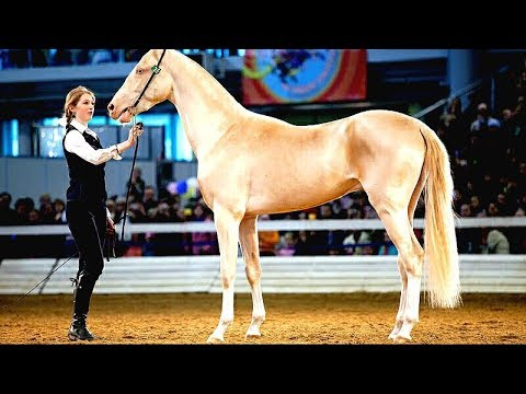 The Golden Horse! Most beautiful horse on earth / Akhal Teke.