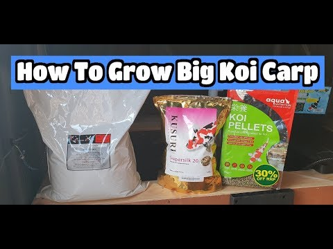 How To Grow Big Koi Carp FOOD Feeding Winter Plans For The Grow On Project