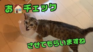茶トラ猫【きんた】オス 2017年8月17日生まれ オス飼い主と同じ日 名前...
