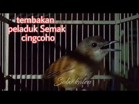 Peladuk Semak Gacor Full Ngebrem./cingcoho Salakan