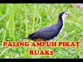 Suara Pikat Ruak Paling Ampuh  Mp3 - Mp4 Download