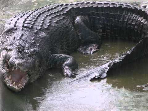 Lolong ( The Biggest Crocodile in the World ).wmv - YouTube