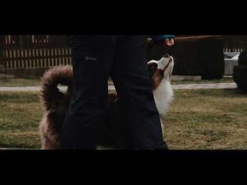 Australian shepherd Aslan - dog tricks
