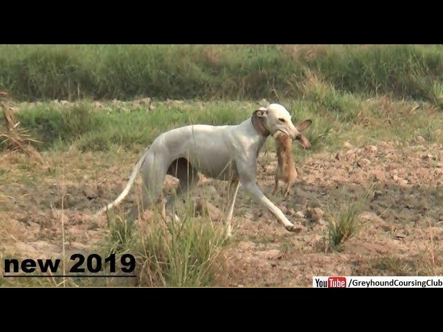 Shikar In Pakistan Rabbit Hunting With Dogs Dog Vs Rabbit Youtube