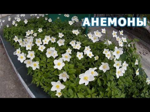 Цветущие белые Анемоны. Анемона (Anemone), или Ветреница - изящное многолетнее растение