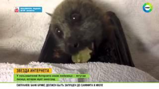 Интернет покорила жующая виноград летучая лисица