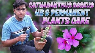 Sadabahar -  Vinca Rosea - Catharanthus Roseus HB & permanent Plants Care In (Urdu/Hindi)