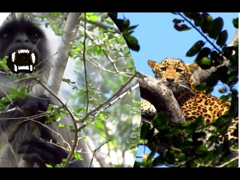 "LEOPARD RETREATED By AGGRESSIVE ""ALARM CALLS"" OF LANGUR MOTHER..!!"