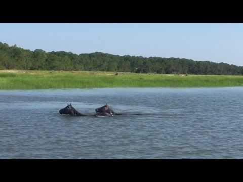 Cumberland island wild horses in a serious dispute over territory and his girls.