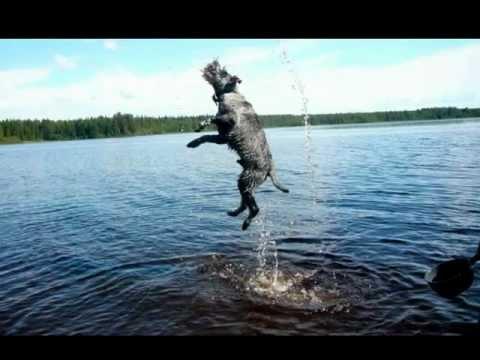 Miniature schnauzer jumping