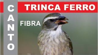 100% CANTO FIBRA - TRINCA FERRO ou TIA CHICA ou PIXARRO BOIADEIRO - #1