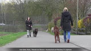 Irish Setter Erziehung ✅ Video nach der Hundeschule
