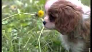 Происхождения собаки.flv