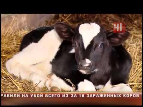 Туберкулез у коров Алапаевск