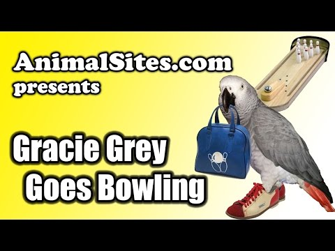 African Grey Parrot Gracie Goes Bowling