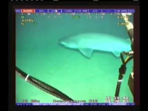 Shark in front of an ROV-camera