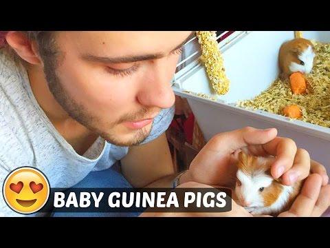 BABY GUINEA PIGS!!