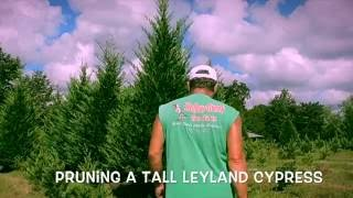 Pruning a Tall Leyland Cypress (final edit)