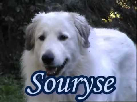 souryse - a champion pyrenean mountain dog