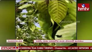 ఏజెన్సీ గ్రామ పరిధిలో పంట పొలాల్లో మిడతలు | Grasshoppers in Vizianagaram District | hmtv